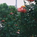 """Pink Roses and The Eiffel Tower"" by nadinerippelmeyer"
