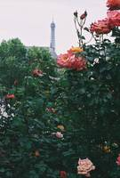 Pink Roses and The Eiffel Tower