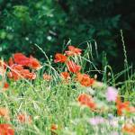 """French Red Poppies"" by nadinerippelmeyer"