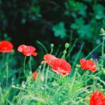 """Primary Poppies"" by nadinerippelmeyer"