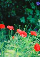 Primary Poppies
