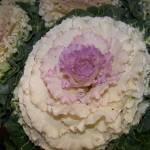 """""""Ornamental Kale"""" by 1stLoveFlowers"""