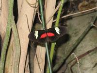 Cave Butterfly