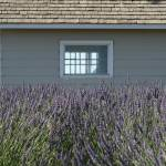 """Lavender Jackson Schoolhouse (3)"" by BarbaraBerger"