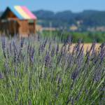 """lavender festival 2008 a (35)"" by BarbaraBerger"