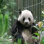 """Panda"" by memoriesoflove"
