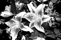Wild Orchids Black and White