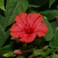 Red Flower on green leaves