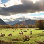 """New Zealand sheep pasture"" by wildernessphotographs"