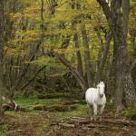 """Free roaming horse in Tierra del Fuego"" by wildernessphotographs"