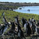 """Magellanic penguin colony, Patagonia"" by wildernessphotographs"
