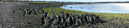 Magellanic penguin colony, Patagonia