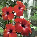 """Hibiscus Waterfall"" by renyen"