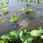 """""""Florida Gator III"""" by NdnzGonWild"""