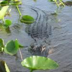 """""""Florida Gator IV"""" by NdnzGonWild"""
