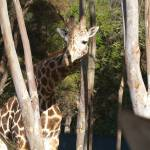 """Giraffe at the Guadalajara Zoo"" by ErinandSaul"