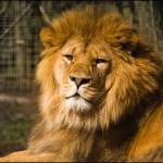 """""""Barbary Lion"""" by whydontyou"""