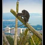 """Sky High Chimpanzee"" by whydontyou"