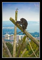 Sky High Chimpanzee