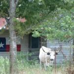 """""""Old Farm House With Texas Flag & Longhorn Cow"""" by KStar"""