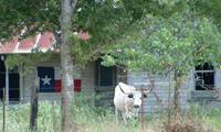 Old Farm House With Texas Flag & Longhorn Cow