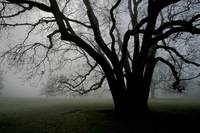 White Oak in Fog