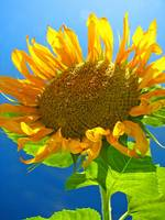 Sunflower with a head held high