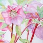 """pink hellebore"" by factorygallery"