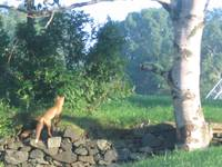 Fox Roaming the Park