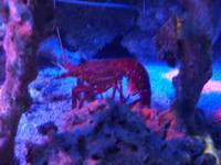 Lobster in the Blue