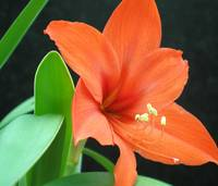 Orange Lilly II