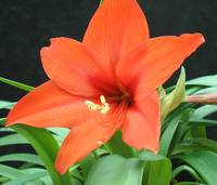 Orange Lilly I