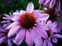 Purple coneflowers at dusk
