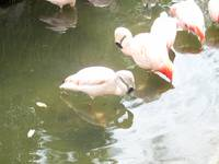 A Flamingo & His Reflection