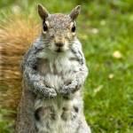 """Female Squirrel"" by mentat"
