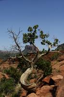 Ageing tree in Sedona, Arizona