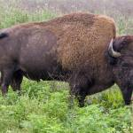 """American Bison (Buffalo)"" by JimNesterwitz"