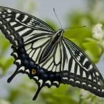 """Gliding Butterfly"" by pattullo"