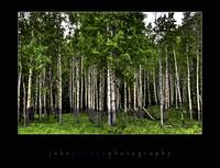 Birch Trees in Banff