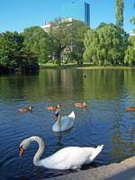 Two Swans Boston Public Garden