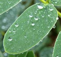 After the rain - droplets on leaf