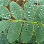 """After the rain - droplets on leaves"" by stevenphill"