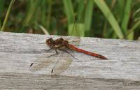 SCARLET DARTER DRAGON FLY