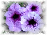 Purple flowers in white