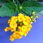 """Little Yellow Beauties 2"" by stevenphill"