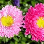 """Pink Duet"" by stevenphill"