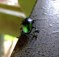Green Bug Costa Rica07