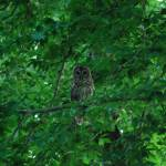 """Barred Owl"" by Clearshot"