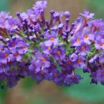 """Butterfly Bush Bloom"" by Clearshot"
