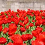 """""""NF tulips"""" by cvchapstick"""